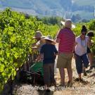 Grape picking at Grande Provence Harvest Festival 2012 #6900