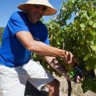 Grape picking at Grande Provence Harvest Festival 2012 #6914