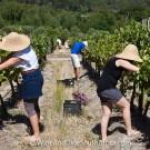 Grape picking at Grande Provence Harvest Festival 2012 #6929