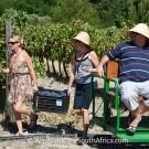 Grape picking at Grande Provence Harvest Festival 2012 #6934