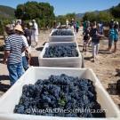Grape picking at Grande Provence Harvest Festival 2012 #6974